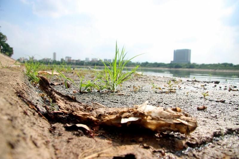Cá lại chết nhiều ở hồ Linh Đàm - ảnh 9