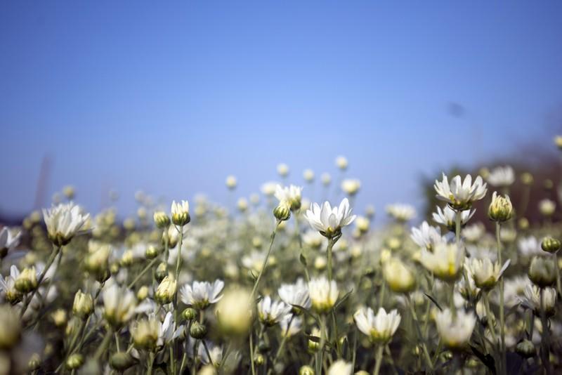 Thiếu nữ Hà thành 'đọ sắc' cùng hoa cúc họa mi - ảnh 2