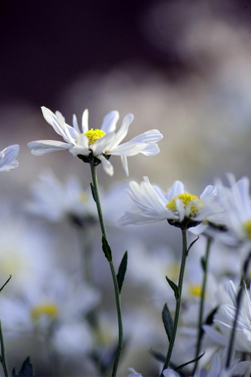 Thiếu nữ Hà thành 'đọ sắc' cùng hoa cúc họa mi - ảnh 3