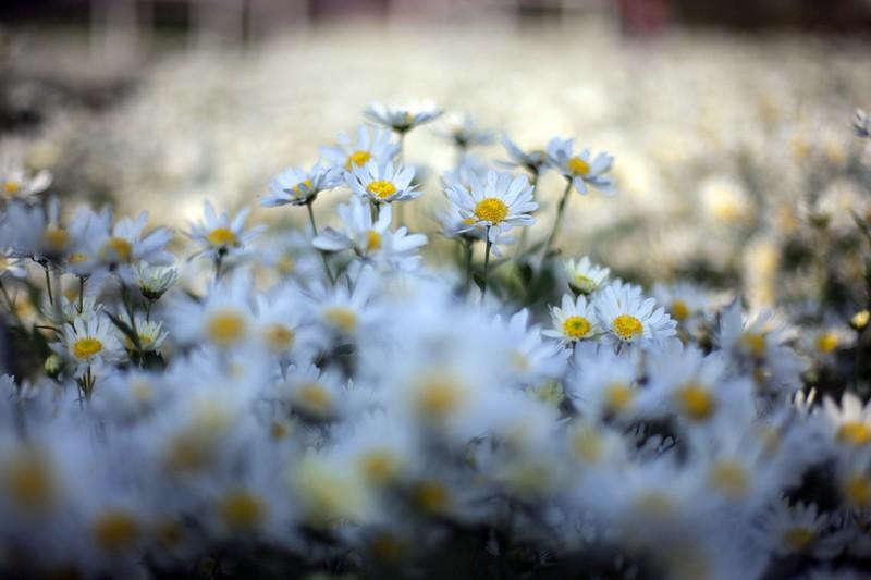 Thiếu nữ Hà thành 'đọ sắc' cùng hoa cúc họa mi - ảnh 4