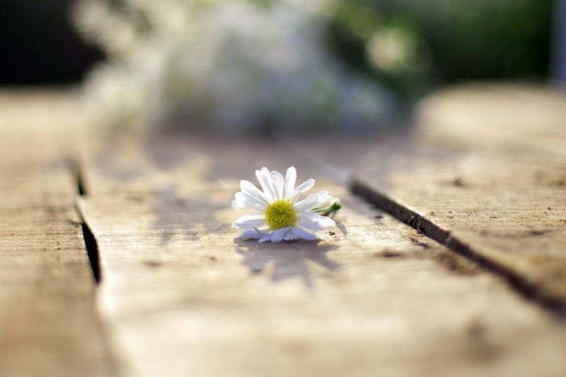 Thiếu nữ Hà thành 'đọ sắc' cùng hoa cúc họa mi - ảnh 6