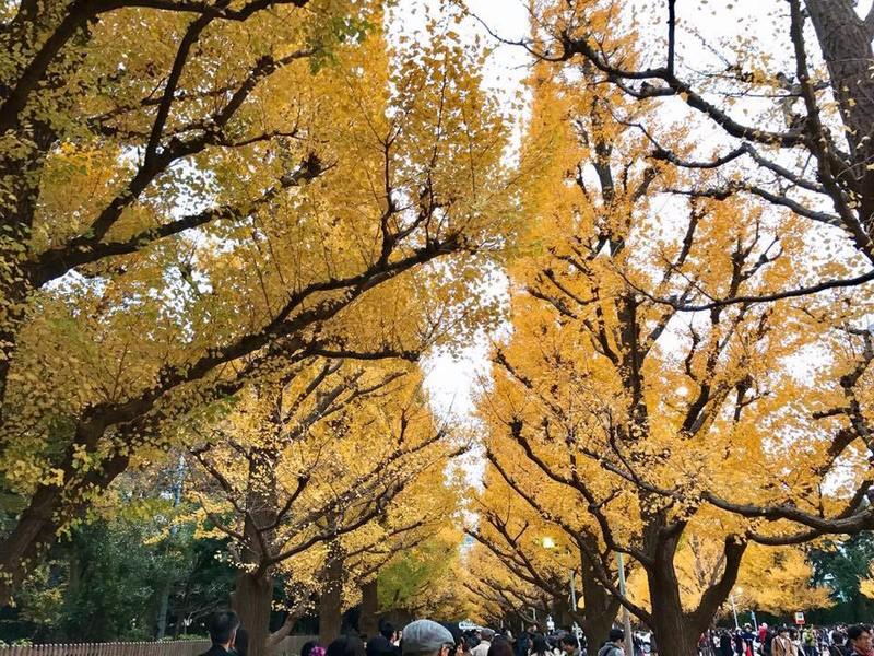 Đẹp mê say với mùa lá vàng ở Nhật Bản - ảnh 2