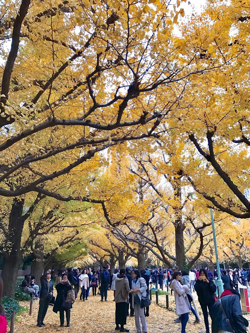 Đẹp mê say với mùa lá vàng ở Nhật Bản - ảnh 3
