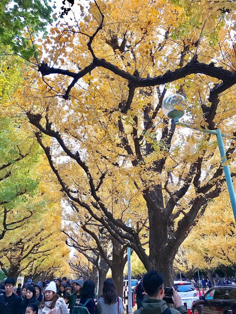 Đẹp mê say với mùa lá vàng ở Nhật Bản - ảnh 6