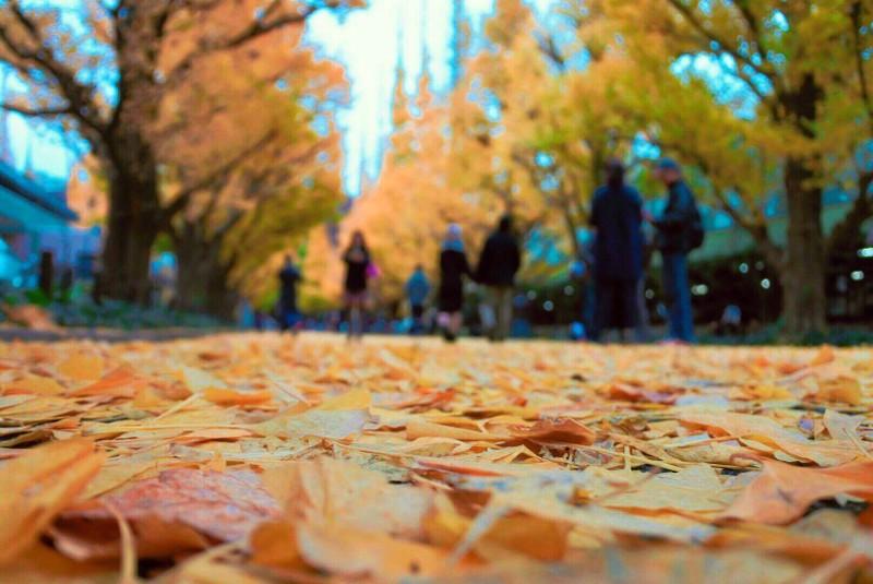 Đẹp mê say với mùa lá vàng ở Nhật Bản - ảnh 9
