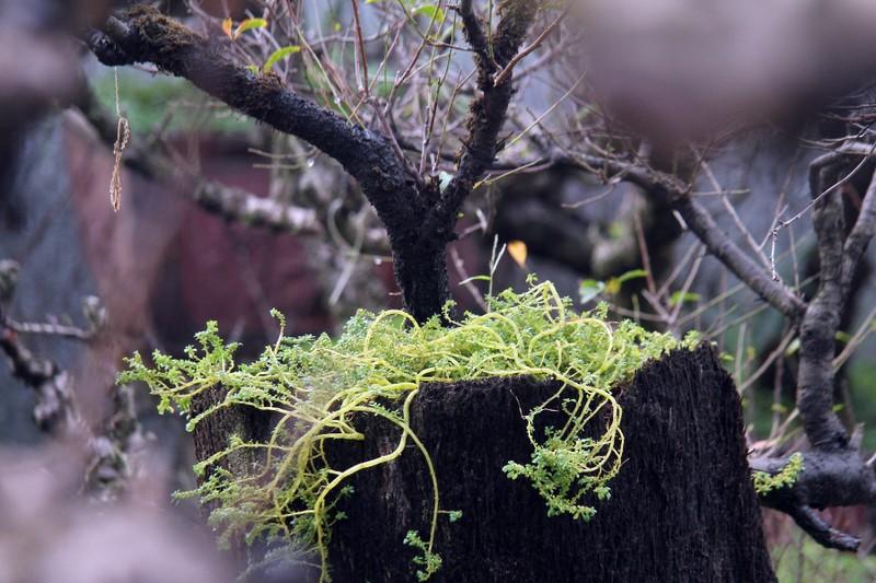 Vẻ đẹp 'sang chảnh' của đào Thất thốn trên đất Nhật Tân - ảnh 5
