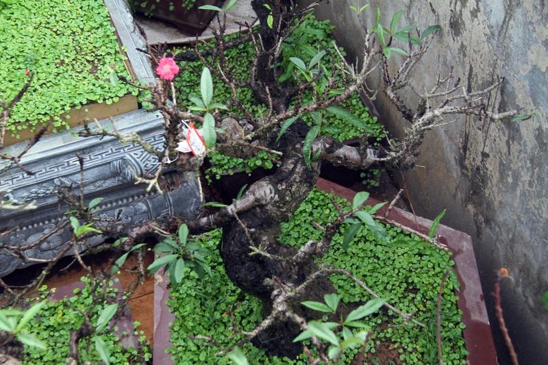 Vẻ đẹp 'sang chảnh' của đào Thất thốn trên đất Nhật Tân - ảnh 6