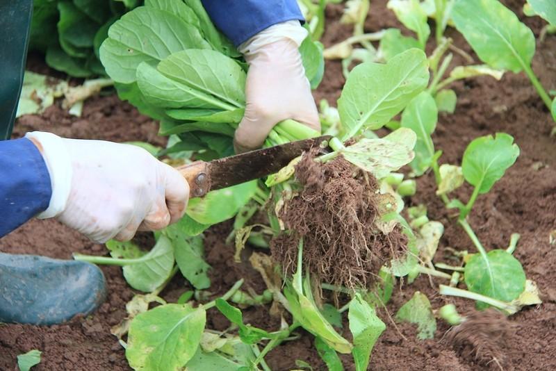 Về vùng đất cung cấp rau sạch lớn nhất Hà Nội - ảnh 3