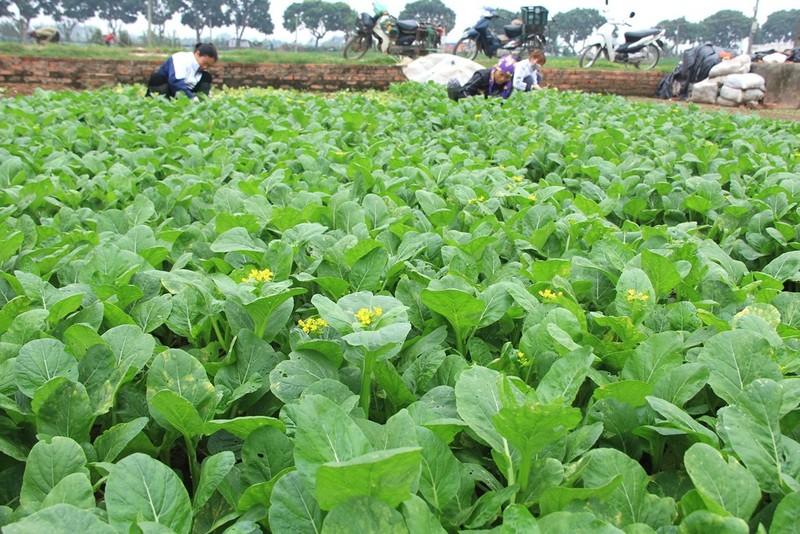 Về vùng đất cung cấp rau sạch lớn nhất Hà Nội - ảnh 4