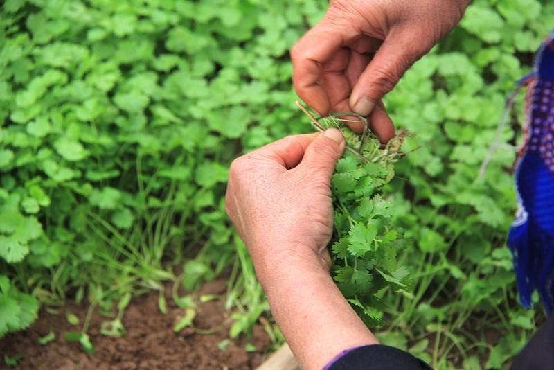 Về vùng đất cung cấp rau sạch lớn nhất Hà Nội - ảnh 6