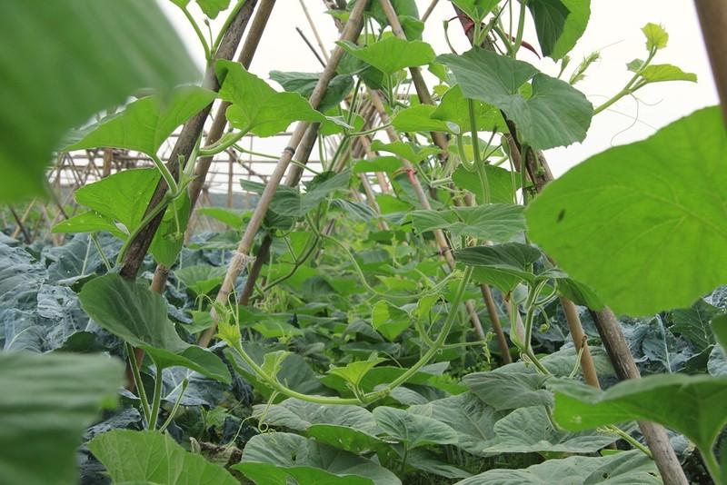 Về vùng đất cung cấp rau sạch lớn nhất Hà Nội - ảnh 10