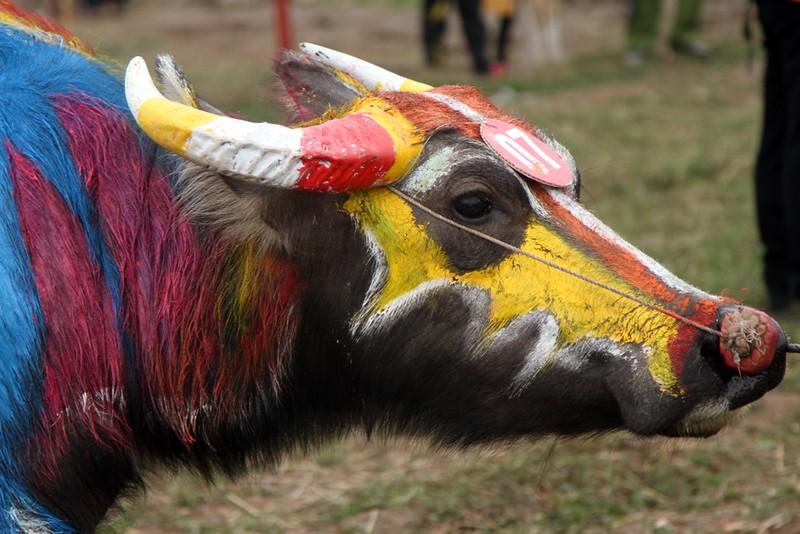 Hình ảnh trâu 'cõng' gà trống trong lễ hội Tịch Điền - ảnh 8