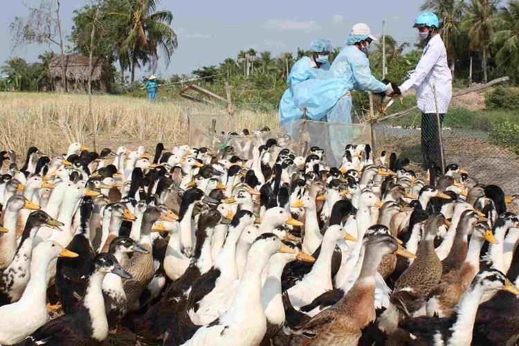 Yêu cầu Ninh Thuận phòng chống cúm gia cầm lây sang người - ảnh 1