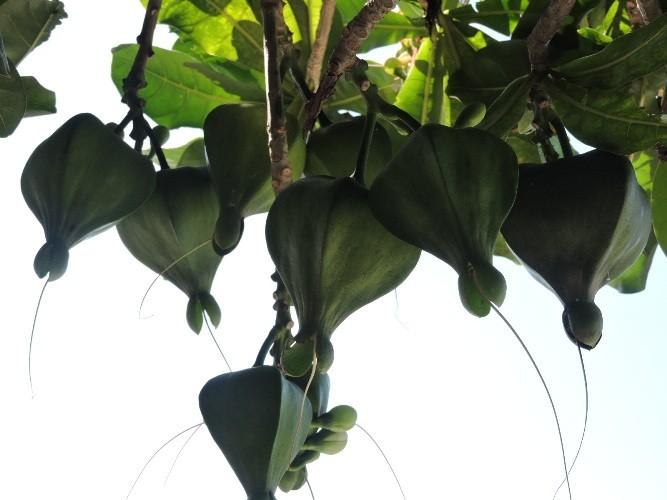Mãn nhãn vẻ đẹp kiêu sa của hoa bàng vuông Lý Sơn - ảnh 1