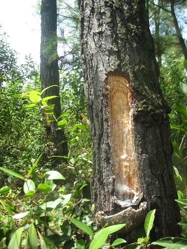 Phạt 50 triệu đồng DN khai thác rừng trái phép - ảnh 1