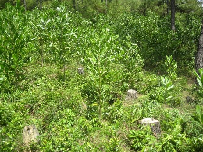 Phạt 50 triệu đồng DN khai thác rừng trái phép - ảnh 2