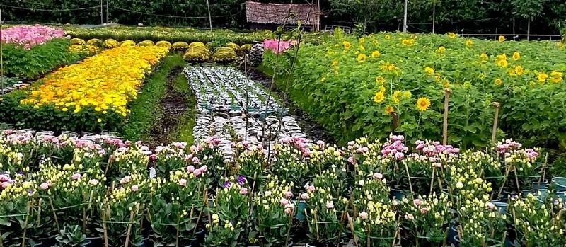 Nhà vườn cung ứng 1,9 triệu chậu hoa kiểng phục vụ tết - ảnh 7