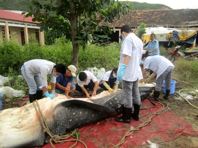 Cá nhám voi 'khủng' dạt vào bờ biển Khánh Hòa - ảnh 2