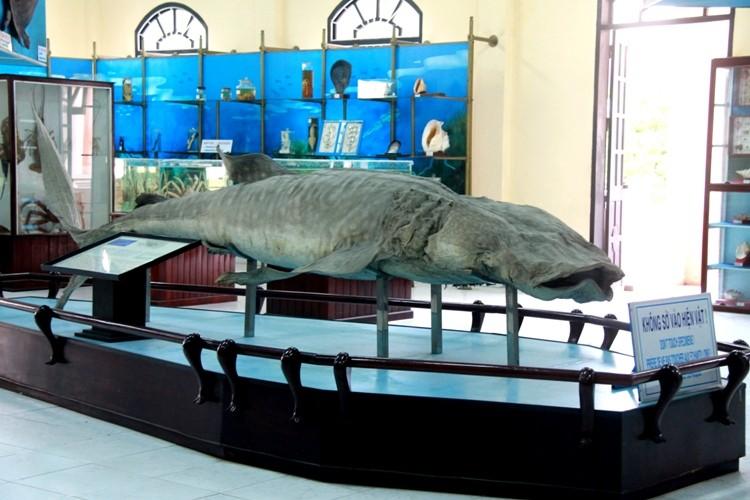 Cá nhám voi 'khủng' dạt vào bờ biển Khánh Hòa - ảnh 3