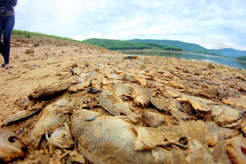 Cá chết xếp lớp ở hồ Phước Hà gây ô nhiễm nghiêm trọng - ảnh 3