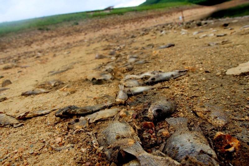 Cá chết xếp lớp ở hồ Phước Hà gây ô nhiễm nghiêm trọng - ảnh 4