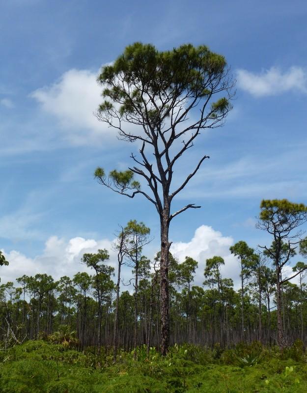 Phố biển Nha Trang trồng cây thông Caribe - ảnh 3
