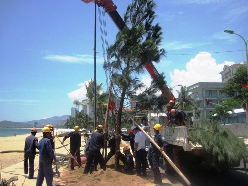 Phố biển Nha Trang trồng cây thông Caribe - ảnh 1
