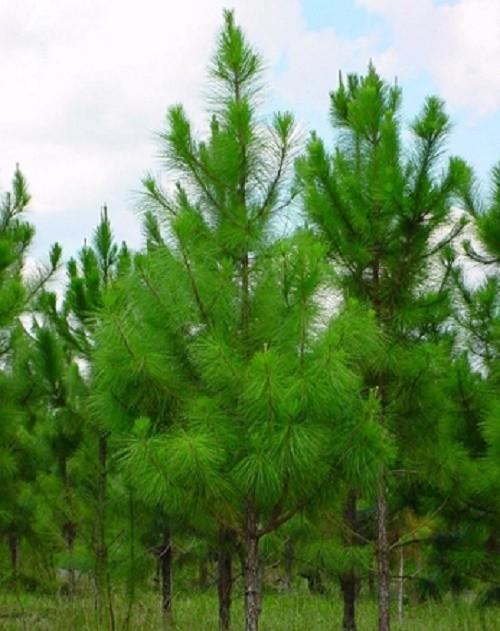 Phố biển Nha Trang trồng cây thông Caribe - ảnh 2