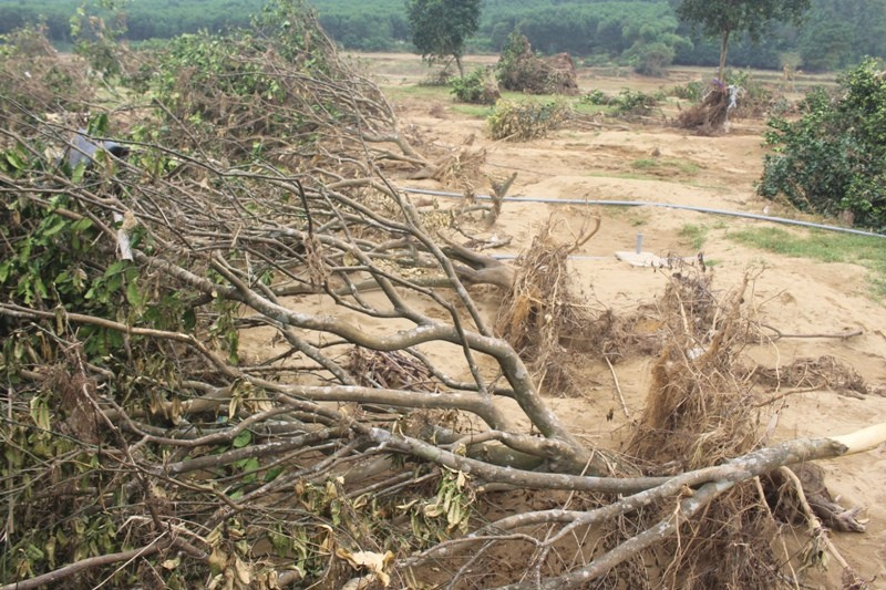 Người trồng bưởi bật khóc trên mảnh vườn tan tác sau lũ - ảnh 2