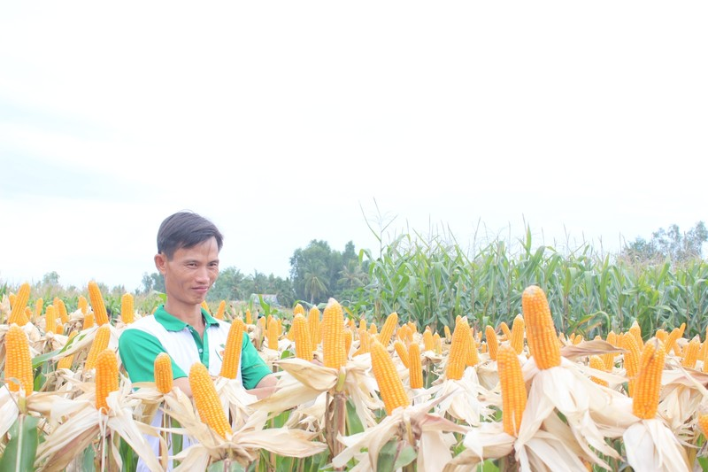 Việt Nam nhập khẩu 1.000 tấn hạt giống bắp biến đổi gen - ảnh 1