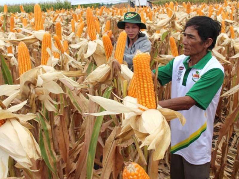 Bắp biến đổi gen gặp khó ở Việt Nam, vì đâu?  - ảnh 1