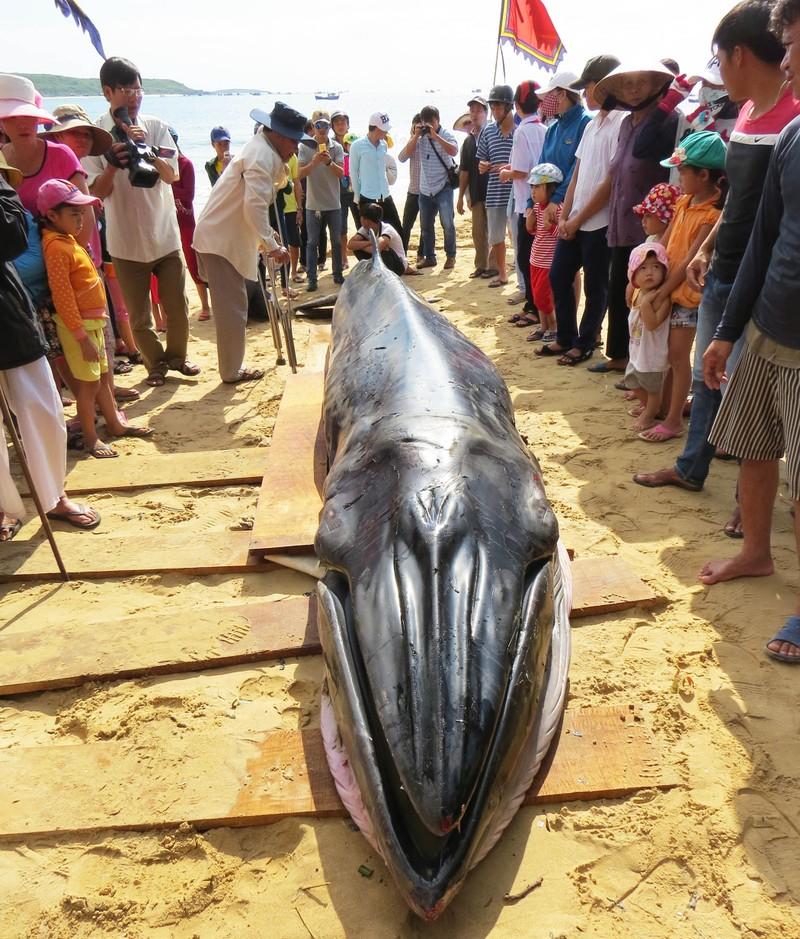 Cá voi dài hơn 6 m dạt vào bờ biển Phú Yên - ảnh 1
