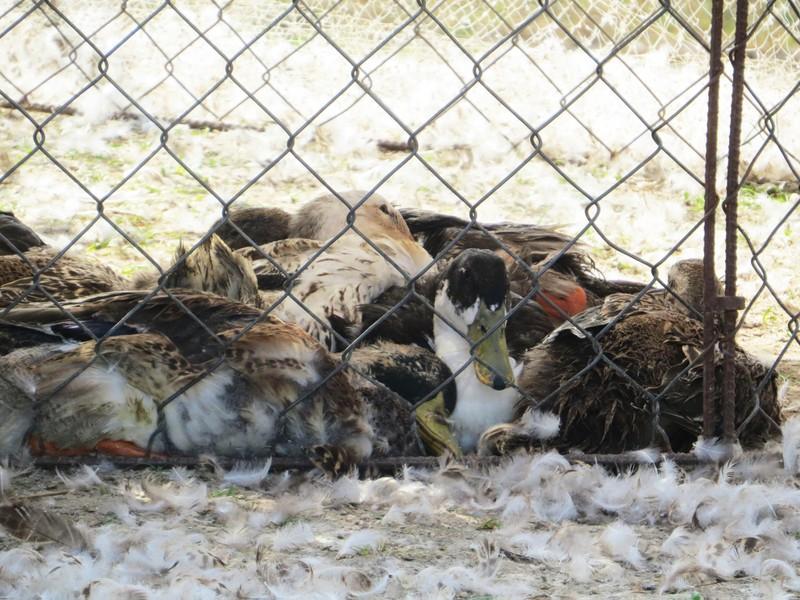 Hàng trăm xác vịt trôi lềnh bềnh trên sông Ba - ảnh 1