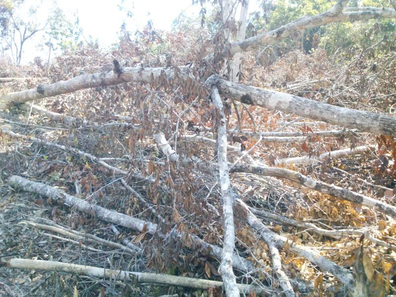 Phú Yên: Điều tra vụ chặt hạ 108 ha rừng - ảnh 8