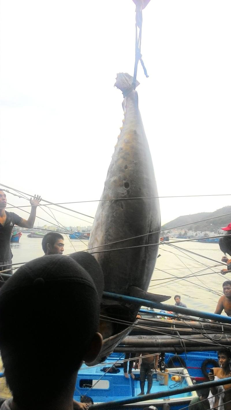 Ngư dân bắt được cá ngừ vây xanh quý hiếm nặng hơn 300 kg - ảnh 4