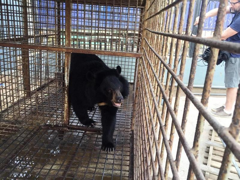 Doanh nghiệp tự nguyện chuyển giao một cá thể gấu ngựa  - ảnh 1