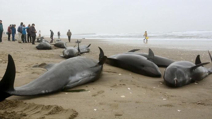 150 con cá heo bị mắc cạn tại Nhật Bản - ảnh 1