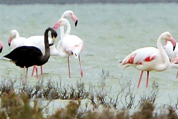 Bức ảnh 'chim hồng hạc đen' làm giới nghiên cứu xôn xao - ảnh 1