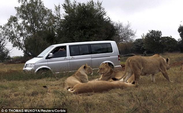 Sư tử 'mở cửa' xe hơi, cắn chết khách du lịch - ảnh 1