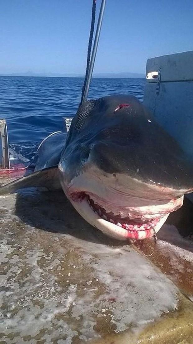 Bắt được cá mập hổ 'khổng lồ' dài bốn mét tại Úc - ảnh 2