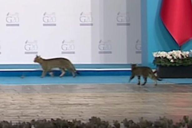 Mèo 'đột nhập' hội nghị G20, chiếm sân khấu nguyên thủ - ảnh 2