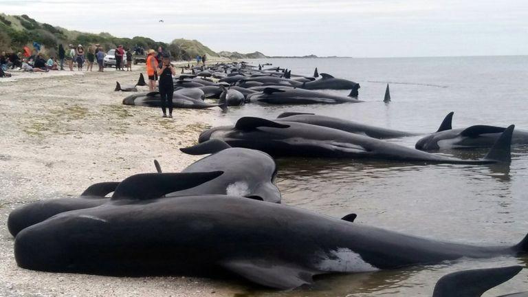 Hơn 400 cá voi mắc cạn bí ẩn trên bờ biển New Zealand - ảnh 1