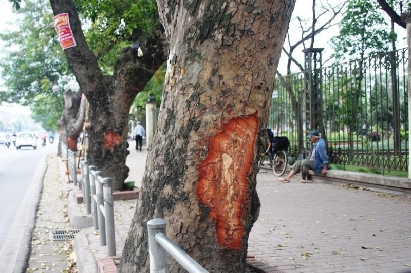 Hà Nội: Nhiều phố có hàng xà cừ cổ thụ bị vết 'chém' lạ - ảnh 2