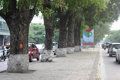 Hà Nội: Nhiều phố có hàng xà cừ cổ thụ bị vết 'chém' lạ - ảnh 4