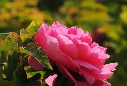 Lạc Dương-thiên đường hoa mẫu đơn - ảnh 5