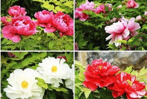 Lạc Dương-thiên đường hoa mẫu đơn - ảnh 11