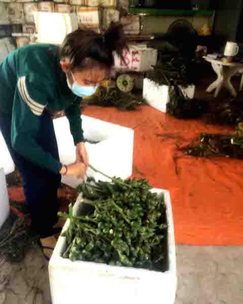 Một điểm thu mua cau non tại huyện Phong Điền