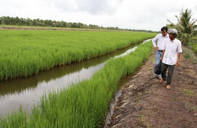 Một thửa ruộng trồng lúa một bụi đỏ và nuôi tôm sú ở xã Ninh Thạnh Lợi A - Ảnh: V.TR.