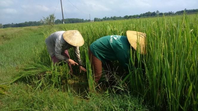 Những thân lúa còn xanh rì được cắt về cho trâu bò ăn- Ảnh: Hà Đồng
