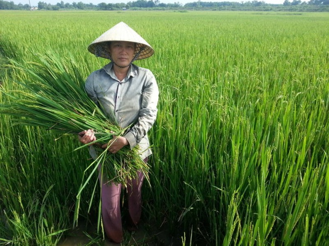 Bà con nông dân ở làng Bèo, xã Vĩnh Long, huyện Vĩnh Lộc (Thanh Hóa) đem cây lúa trổ bông mà không kết hạt về cho trâu bò ăn - Ảnh: Hà Đồng